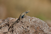 425900020 a wild great basin fence lizard sceloporus occidentalis longipes sits atop a large rock near eureka dunes california