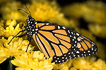 Monarch Butterfly (Danaus plexippus) lifecycle metamorphosis orange yellow flower pattern wing.USA....