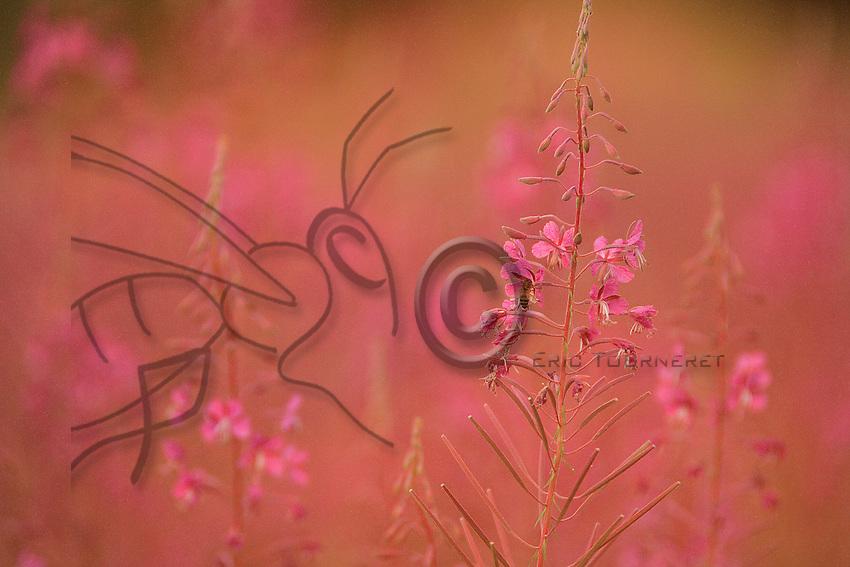 A bee foraging epilobium flowers at sunset.