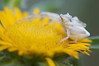 Crab spider (Misumena spec.) on Elecampane (Inularia helenium), waiting for prey, Parco Naturale di Monte Cerreto, San Marino. Repubblica di San Marino