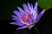 Sunlit blue lotus water lily flower, Big Island.