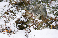Grey Wolf peering out from behind the snowy underbrush - CA