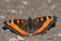 Milbert's Tortoiseshell butterfly sitting on a gravel lot