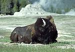 bison near Castle Geser