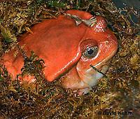 1216-07rr  Tomato Frog - Dyscophus antongili - © David Kuhn/Dwight Kuhn Photography.