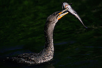 Everglades, Fla. -- Feb. 17, 2007 -- An cormorant swims along with a catfish it just speared in the waters near the H.P. Williams Roadside Park in the Big Cypress National Preserve just north of Everglades National Park on the southern tip of Florida on Saturday, Feb. 17, 2007.