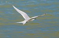 White-fronted tern  (Sterna Striata) in flight across the Hauraki Gulf off the Coromandel Peninsula,  North Island, New Zealand