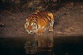 Bengal Tiger (Panthera tigris) drinking, Asia.