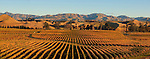 Vineyards at dawn in the Awatere Valley in the Marlborough Region. New Zealand.