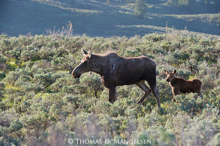 A moose and her calf walks through the sage flats in Grand Teton National Park, Wyoming.