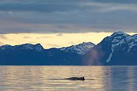 Humpback whale, Chugach mountains, Prince William Sound, southcentral, Alaska.
