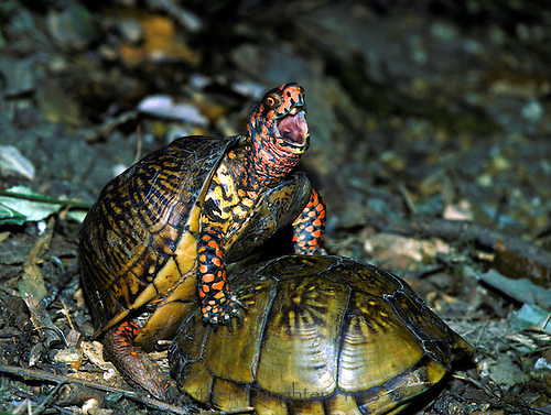 Two ornate box turtles mating, Terapene ornata ornata