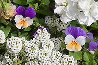 Heirloom flowers: Viola tricolor, Lobularia Snow Princess and Matthiola incana stocks - three cool weather annuals in flower togethe