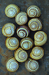 Collection of thirteen shells of Grove snail or Cepaea nemoralis lying on rusty metal sheet displaying different yellow and brown markings