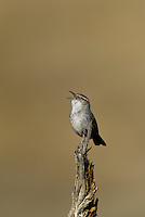 598030025 a wild bewick's wren thryomanes bewickii sings or vocalizes while perched on a twig in kern county california united states
