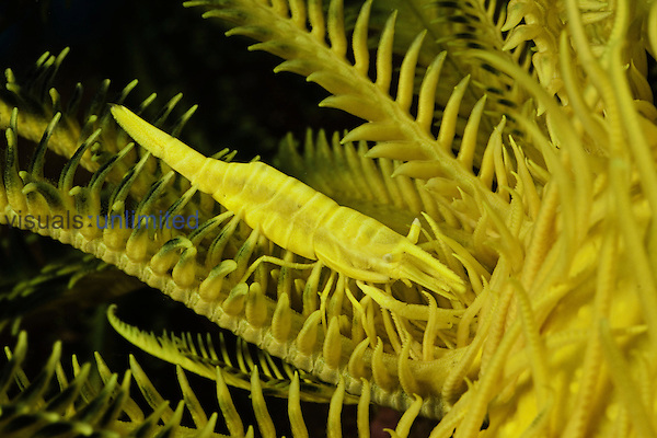 A yellow commensal Crinoid Shrimp (Periclimenes amboinensis) camouflaged on a yellow Crinoid (Comanthus bennetti), Philippines.