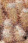 Joshua Tree National Park, California; Cholla Cactus Garden, Hedgehog Cactus (Echinocereus engelmannii), also known as Calico Cactus, sits amongst the Teddy-Bear Cholla cactus