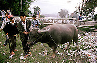 An owner leads his buffalo bull to the centre of the field in Kota Baru before a bullfight. Bullfighting is part of Minang Kabau culture and contests take place every Tuesday and Saturday evening in towns and villages across central Sumatra. Indonesia, May 2000