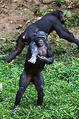Bonobo young female standing (Pan paniscus), Lola Ya Bonobo Sanctuary, Democratic Republic of Congo.