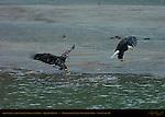 Bald Eagle and Juvenile Landing on Salmon, Squamish River, Brackendale Eagles Provincial Park, Vancouver, British Columbia