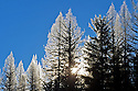 Western larch with hoarfrost at sunrise in winter. Yaak Valley, Montana.