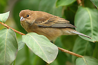 The female Indigo Bunting is all brown, as opposed to the males brilliant blue colors.