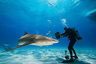 Scuba diver with shark baits, Lemon Sharks, Negaprion brevirostris, with sharksuckers, Echeneis naucrates, and Blue Runner jacks, Caranx crysos, West End, Grand Bahama, Bahamas, Atlantic Ocean.