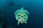 Green sea turtle (Chelonia mydas) with damaged or bit off tail and back flippers.