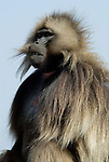Gelada Baboon, Theropithecus gelada, Simien Mountains National Park, Ethiopia, male with red chest, bleeding heart, vunerable, endangered.Africa....