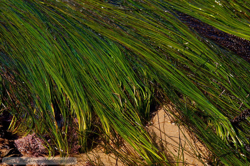 Surfgrass is one of the only flowering plants that live in marine environments.  Here it's seen in Crystal Cove State Park at low tide.