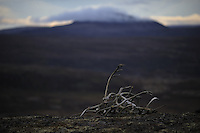 Autumn Forollhogna national park,Norway Wild reindeer  horns,Forollhogna,Norway Landscape, landskap,