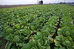 Photo shows a field of hakusai cabbages growing at Mitsuo Sugawara's farm in Higashi-Matsushima, Miyagi Prefecture, Japan on 30 Nov. 2011.Photographer: Robert Gilhooly
