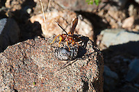 Parasitic Wasp w spider, Patagonia Lake State Park, Arizona