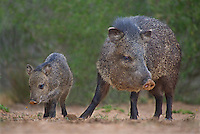 650520328 wild javelinas or collared peccaries dicolytes tajacu forage near a waterhole on santa clara ranch in starr county rio grande valley texas united states