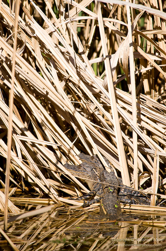 Columbia Ranch, Brazoria County, Damon, Texas; three juvenile American Alligators (Alligator mississippiensis) laying on top of one another at the water's edge of the bull rush, warming up in the afternoon sun