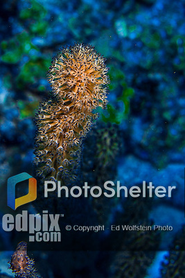 10 June 2015: Coral Polyps(Alcyonium palmatum) are seen at Lemon Reef, on the North Shore of Grand Cayman Island. Located in the British West Indies in the Caribbean, the Cayman Islands are renowned for excellent scuba diving, snorkeling, beaches and banking.  Mandatory Credit: Ed Wolfstein Photo *** RAW (NEF) Image File Available ***