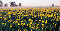 Ohio. South Charleston farm with sunflowers These United States Page 177: Top: