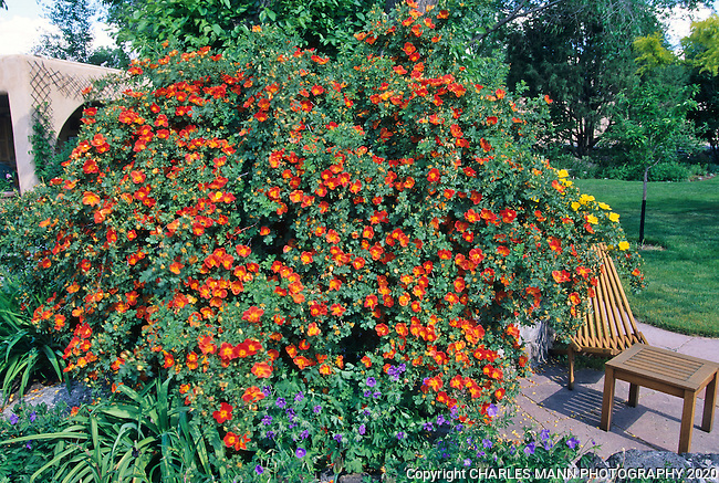 Susan Blevins of Taos, New Mexico, created an elaborate home garden featuring containers, perennial beds, a Japanese themed path and a regional style that reflectes the Spanish and pueblo architecture of the area.An Austrian Copper Rose, or rosa foetida,  in full bloom presents a flagrant  and fanciful statement in early June