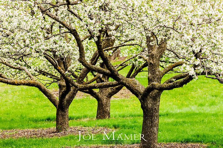 Three apple trees in bloom at the university of minnesota landscape
