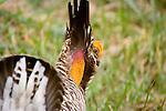 Greater Prairie Chicken, Missouri