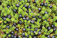 Crowberry (Empetrum nigrum hermaphroditum) , Sarek National Park, Laponia World Heritage Site, Sweden
