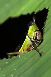 Grasshopper feeding on leaf, Iquitos, Peru, jungle, amazon, head showing through leaf.South America....