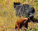Black Bear and Cinnamon Cub, Elk Creek, Yellowstone National Park, Wyoming
