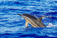 spinner dolphin leaping, Stenella longirostris, Kona, Big Island, Hawaii, Pacific Ocean