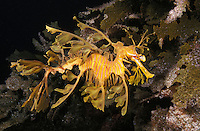 me124. Leafy Sea Dragon (Phycodurus eques). South Australia, Pacific Ocean..Photo Copyright © Brandon Cole. All rights reserved worldwide.  www.brandoncole.com..This photo is NOT free. It is NOT in the public domain. This photo is a Copyrighted Work, registered with the US Copyright Office. .Rights to reproduction of photograph granted only upon payment in full of agreed upon licensing fee. Any use of this photo prior to such payment is an infringement of copyright and punishable by fines up to  $150,000 USD...Brandon Cole.MARINE PHOTOGRAPHY.http://www.brandoncole.com.email: brandoncole@msn.com.4917 N. Boeing Rd..Spokane Valley, WA  99206  USA.tel: 509-535-3489