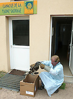 Northern Gannet (Sula bassana) covered in oil rescued at La Dame Blanche animal protection center, Normandy, France.