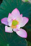 Chao Phraya River, Bangkok, Thailand. Lotus grow in a park along the riverbank.