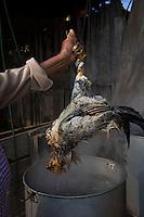 Women boiling and plucking chickens. La Mayordomia organizing the fiesta de la Virgen de Guadalupe, Hueyapan, Tetela del Volcan, Morelos, Mexico
