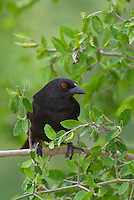 512440024 a wild male bronzed cowbird molothrus aeneus  perches on a tree branch on santa clara ranch starr county texas united states