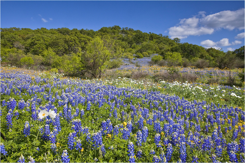 Along a dirt road near Loyal Valley, Texas, bluebonnets stretch to the tree line. Interspersed with the blue are white poppies and various shades of gold...While along this stretch, I ran over a rattlesnake and also saw one slither into the grass, so be careful on those dirt roads when you are searching for perfect Texas Wildflower image.